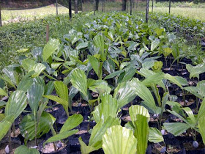 Pemkot Kotamobagu Bakal Jadikan Produk Gula Aren Sebagai Identitas Daerah