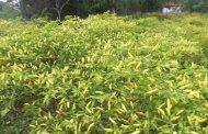 Desa Moyag Potensi Penghasil Cabai di Kotamobagu Timur