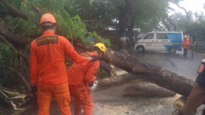 Sehari, Dua Pohon Besar Tumbang Akibat Hujan Deras.