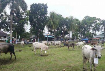 Data Sementara Hewan Kurban di Kotamobagu: Sapi 354, Kambing 67.